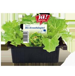 diverse Bio-Salat- und Kohlgemüsejungpflanzen