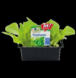 Grüner Kopfsalat-Jungpflanzen
