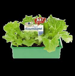 Grazer Krauthäuptel-Jungpflanzen