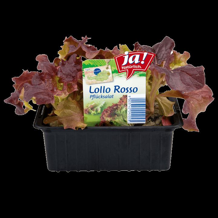 Lollo Rosso-Jungpflanzen