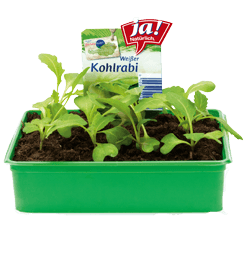 Kohlrabi-Jungpflanzen