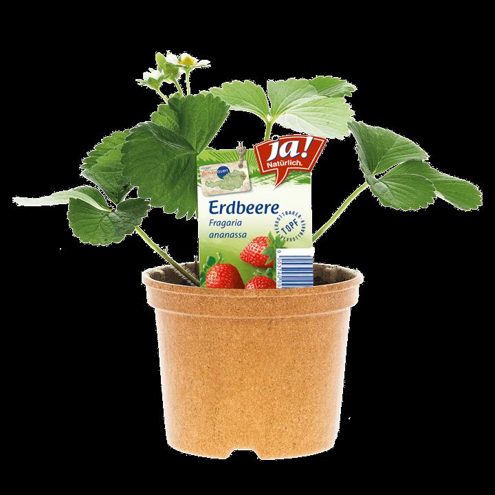 Erdbeerjungpflanze