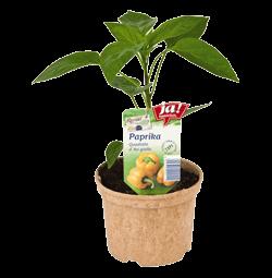 "Paprika ""Quadrato D'Asti Giallo""-Jungpflanzen"