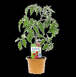 Salattomate Klein -Naschpflanzen