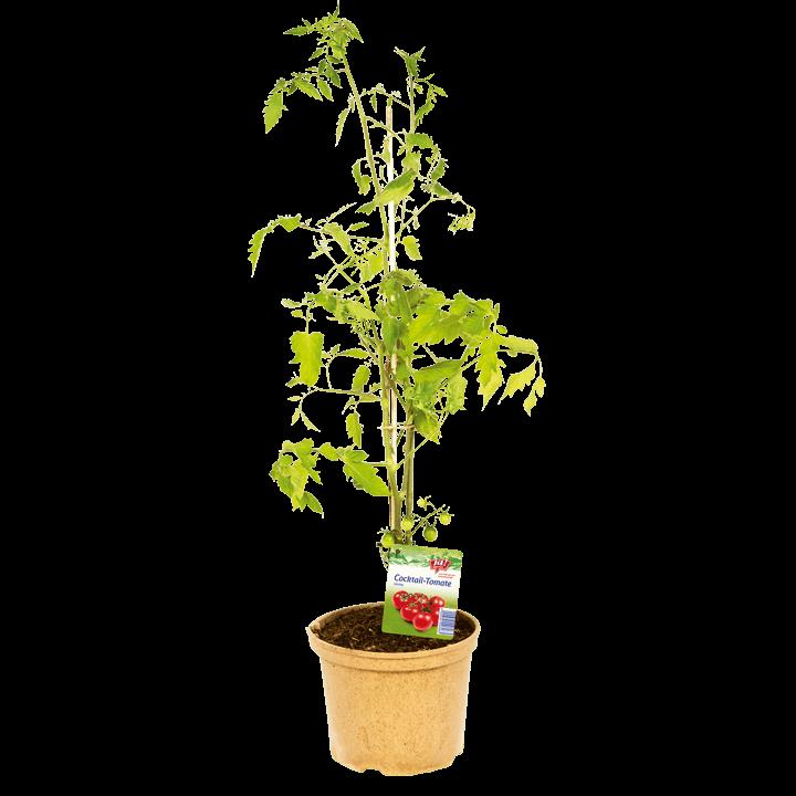 Cocktailtomate-Naschpflanzen