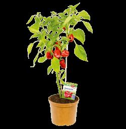Blockpaprika -Naschpflanzen