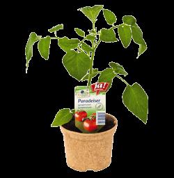 "Salattomate ""Matina""-Jungpflanzen"