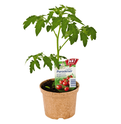 "Cocktailtomate ""Zuckertraube""-Jungpflanzen"