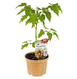 "Cocktailtomate Rarität ""Black Cherry""-Jungpflanzen"