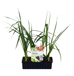 Porree-Jungpflanzen
