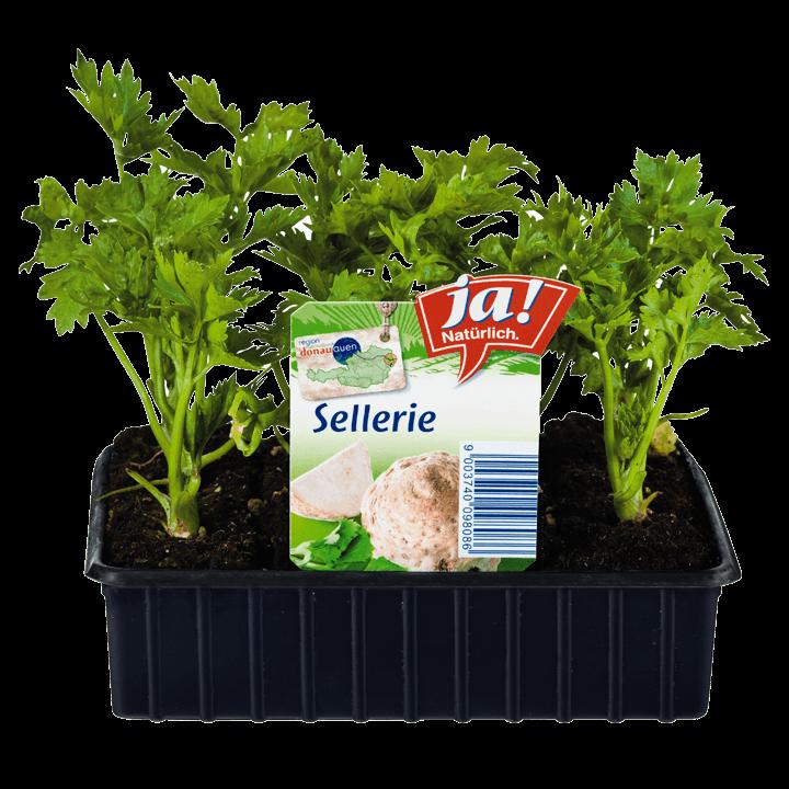 Sellerie-Jungpflanzen