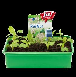 Karfiol-Jungpflanzen