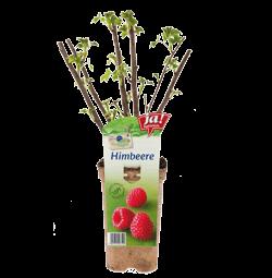 """Himbeere """"Schonnemann""""-Jungpflanzen"""