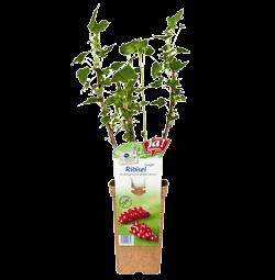 "Ribisel ""Junifer""-Jungpflanzen"