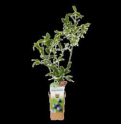 "Heidelbeere ""Goldtraube""- Jungpflanze"