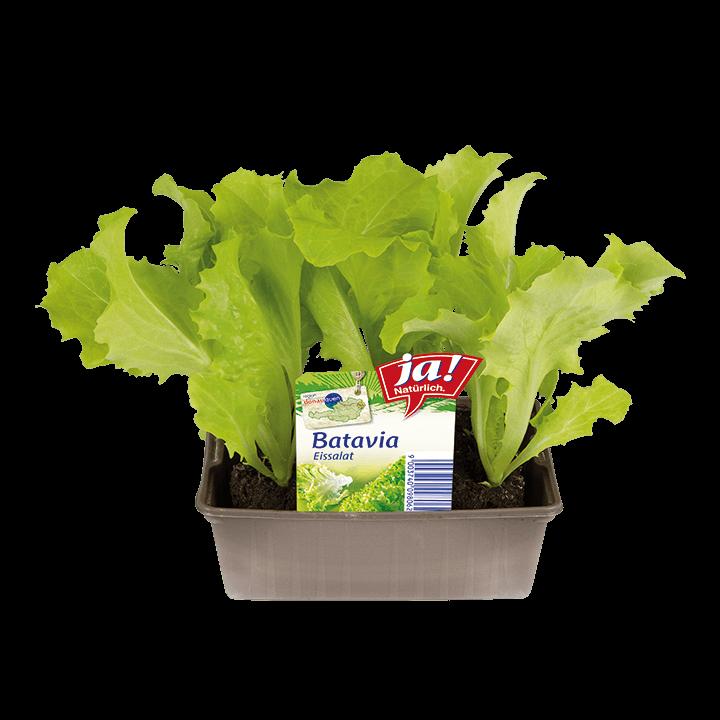 Batavia-Jungpflanzen