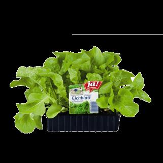 Eichblatt Grün-Jungpflanzen