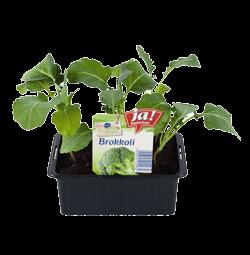 Brokkoli-Jungpflanzen