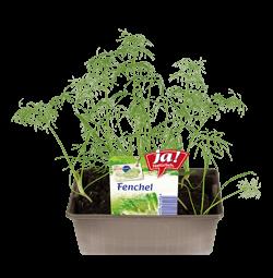 Fenchel-Jungpflanzen
