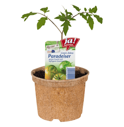 "Salattomate ""Green Zebra""-Jungpflanzen"