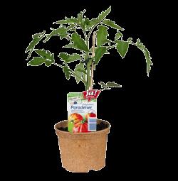 """Fleischtomate Rarität """"Ochsenherz""""-Jungpflanzen"""