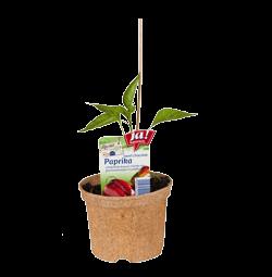 "Paprika ""Sweet Chocolate""-Jungpflanzen"