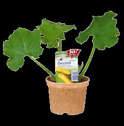 "Zucchini Rarität ""Gold Rush""-Jungpflanzen"