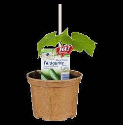 """Feldgurke """"Marketmore""""-Jungpflanzen"""