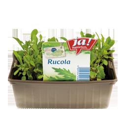 Rucola-Jungpflanzen