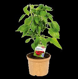 Spitzpaprika Rot -Naschpflanzen