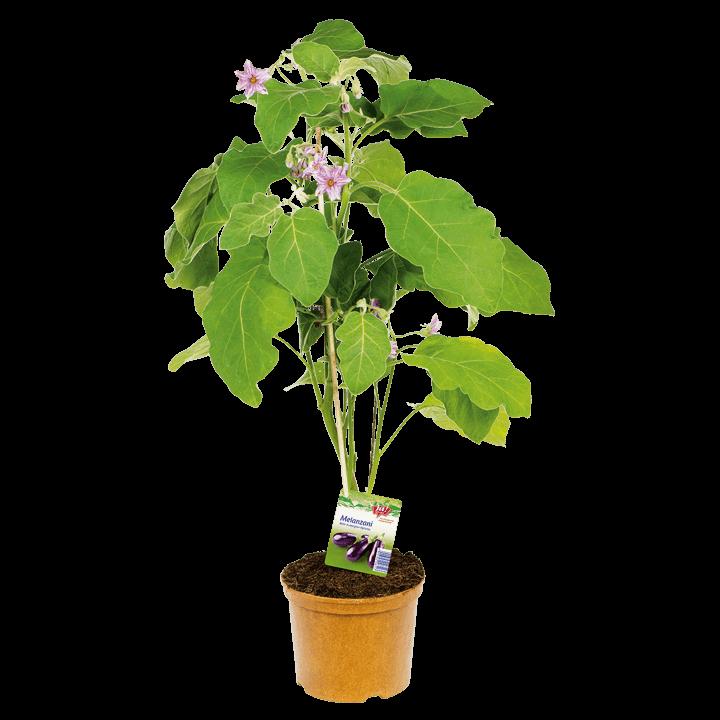 Melanzani Mini -Naschpflanzen