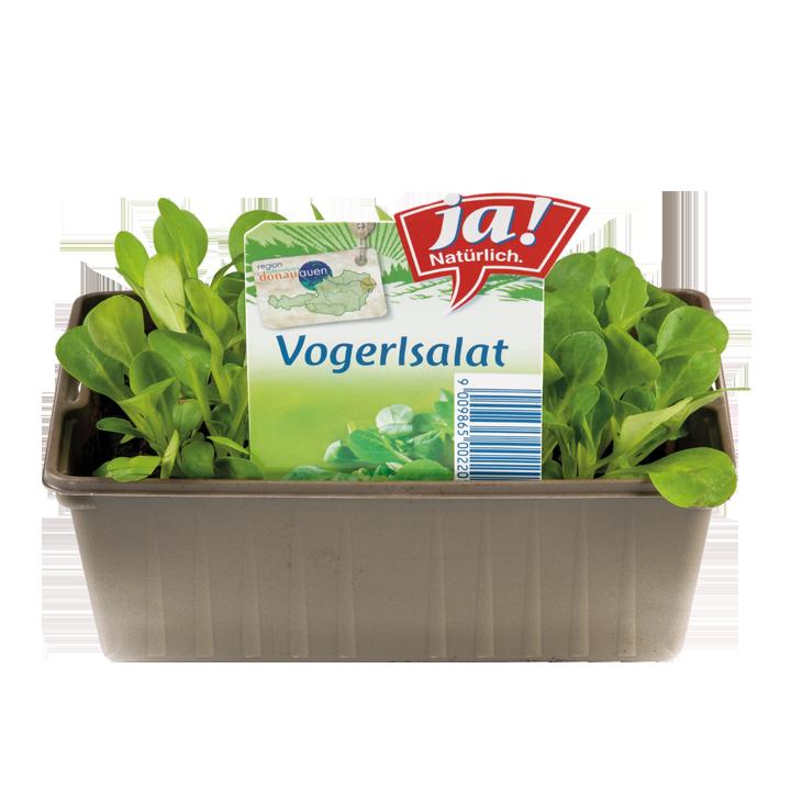 Vogerlsalat-Jungpflanzen
