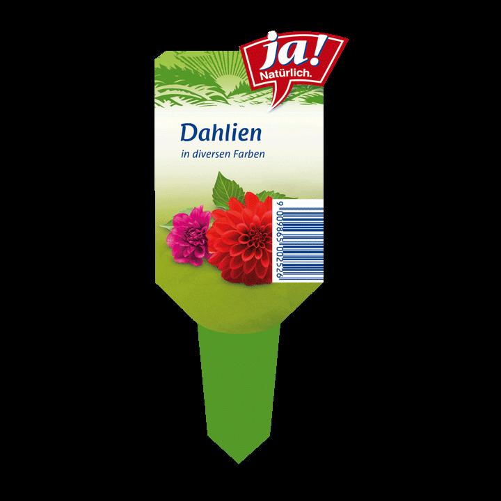 Sommerblume Dahlien